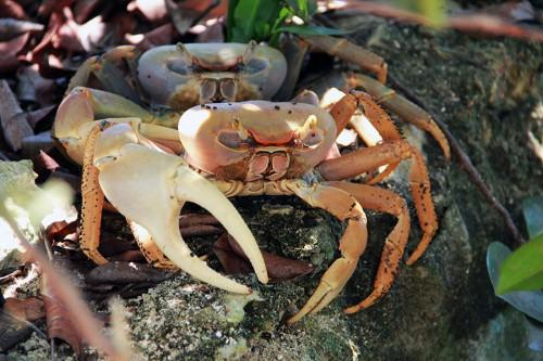 andros-crab