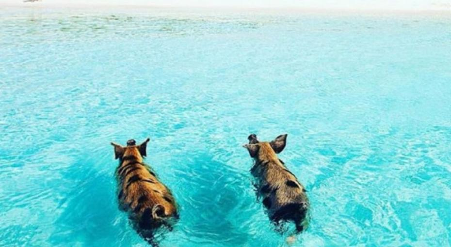 Swimming Pigs in The Exumas